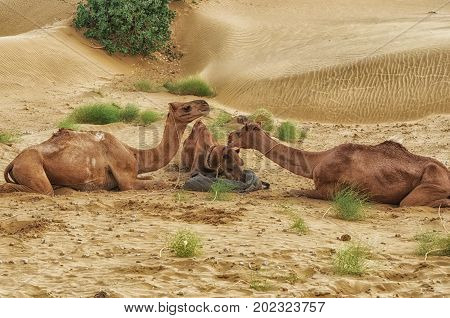 Feeding Camels During A Desert Safari Pause