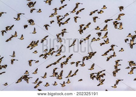 Red-billed quelea in Kruger national park, South Africa ; Specie Quelea quelea family of Ploceidae