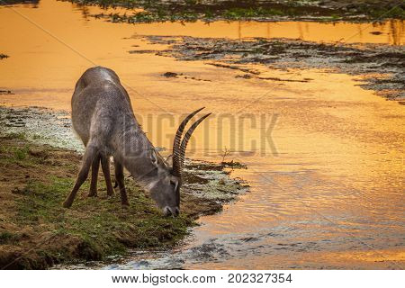 Common waterbuck in Kruger national park, South Africa ; Specie Kobus ellipsiprymnus family of bovidae