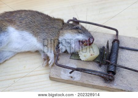 Mouse In A Wooden Mousetrap