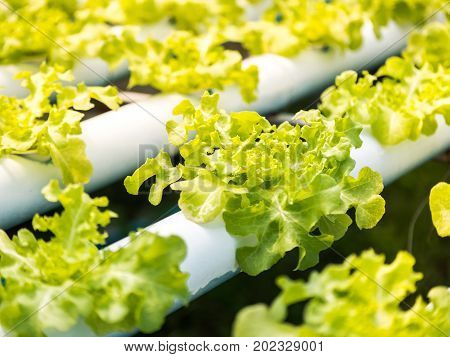 Fresh organic green vegetables salad in hydroponics greenhouse farm for agriculture and food vegetable leaves