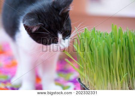 little kitty and eat grass