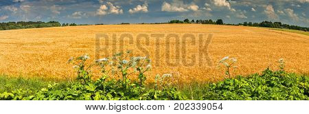 Agricultured concept of rich harvesting, panoramic view on field of ripening wheat