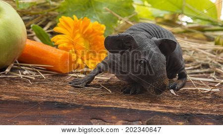 a cute baby of skinny guinea pig close up