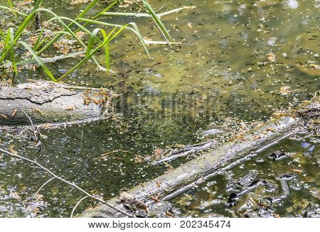 outdoor scenery including lots of tadpoles in natural ambiance