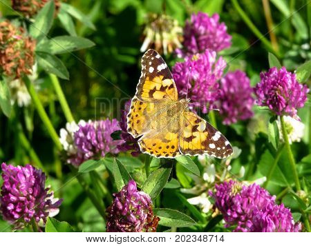 Painted lady (Vanessa cardui) butterfly siting on the red clover