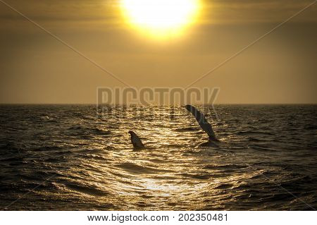 A Humpback Whale fin slapping to communicate with her baby at sunset in Cape Cod