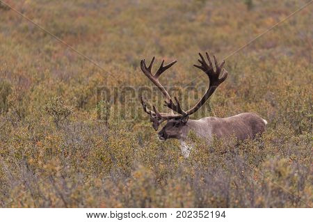 a bareen ground caribou bull in velvet in Denali National Park