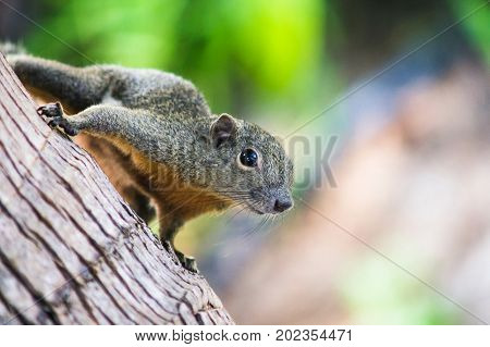 Curious Slender squirrel sitting on a tree Malaysia.