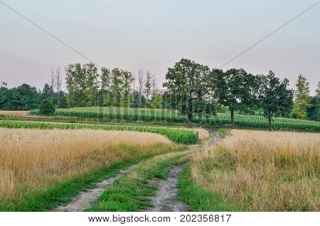 Afternoon summer landscape. Trees and cultivated fields in the countryside.