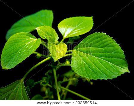 Vivid Green Leaves Of Indian Acalypha Copperleaf In Black Background