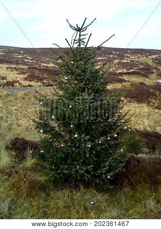 Decorated Conifer in Turf Bog, Sally Gap, County Wicklow, Ireland