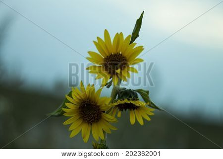 yellow sunflower on the stench of a bright blue sky