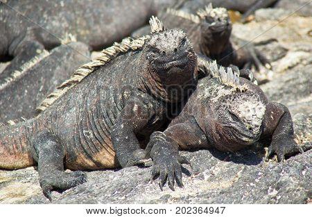 Marine Iguanas Sunning On Rock