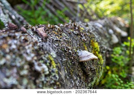 mold and fungi or chaga on bark of a trunk of the old rotten fallen tree