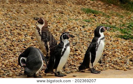 Penguins/ The flock of penguins on stony surface.