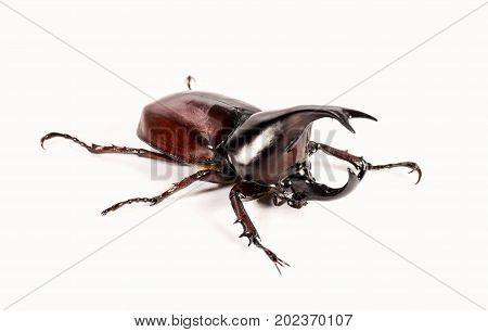 Rhinoceros beetle Horn beetle isolated on white ground.