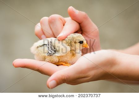 The little chick is on female hand caress care about baby animal.