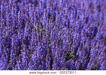 Image of Blue Salvia flowers blooming in the garden
