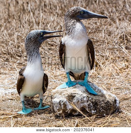 Blue Footed Booby Mated Pair Looking Camera Right