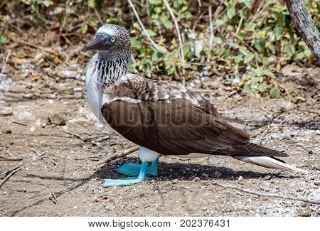 Blue Footed Booby Standing and Scanning Surroundings