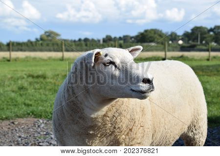 A Texel ewe looks to one side as she stands in the summer sunshine