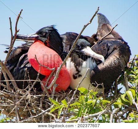 Frigatebird Mated Pair