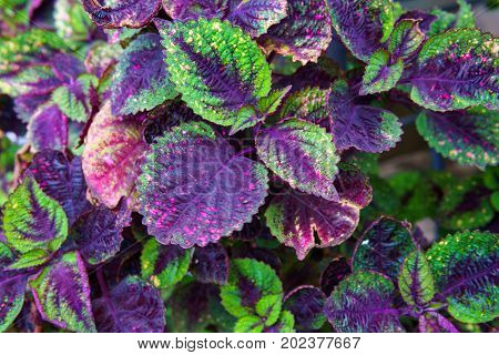 very beautiful purple and green leaf texture for background