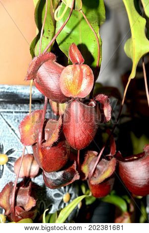 Tropical pitcher plants or Monkey cups hanging decorated.