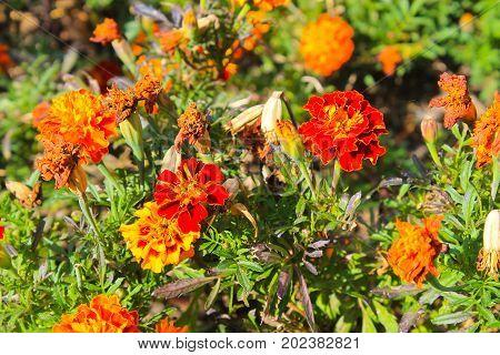 Orange marigolds on flowerbed in the garden