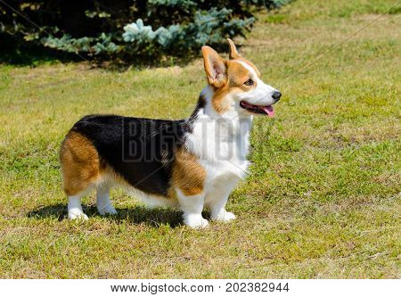 Cardigan Welsh Corgi looks ahead. Cardigan Welsh Corgi stands in the park.