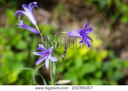 Blue campanula flower on flowerbed in garden
