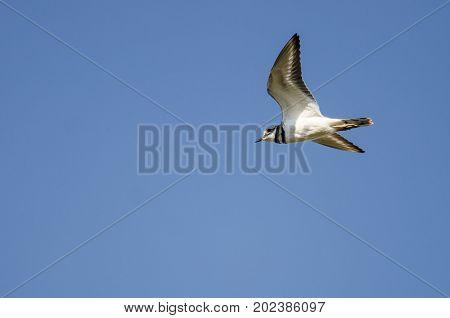 Lone Killdeer Flying in a Clear Blue Sky
