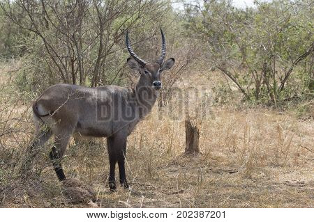 Male of the water goat who stands among the bushes in the bush savannah on a hot day
