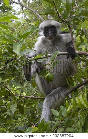 Red colobus of Zanzibar sitting on a tree branch in the sunny afternoon