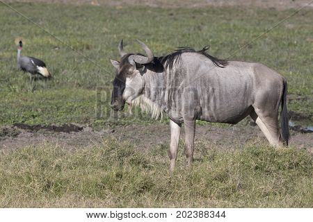 Young male antelope wildebeest standing in a marshy lowland sunny afternoon