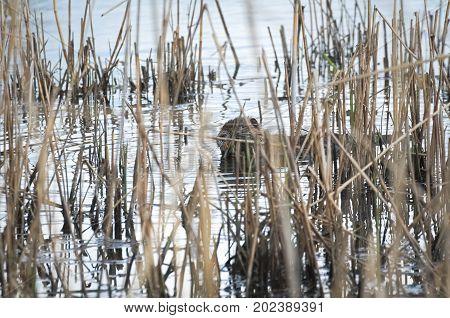 Coypu Animal Eating Green Leaves between Dry Reeds