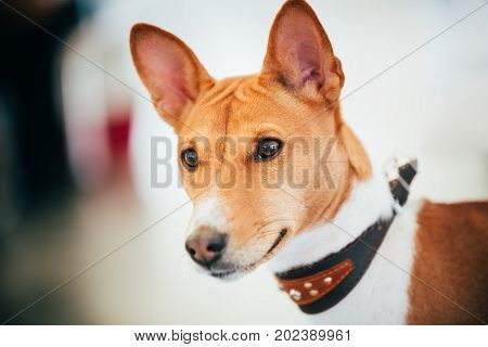 Close Up Basenji Kongo Terrier Dog. The Basenji Is A Breed Of Hunting Dog. It Was Bred From Stock That Originated In Central Africa