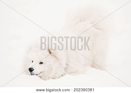 Funny Young White Samoyed Dog Or Bjelkier, Smiley, Sammy Playing Outdoor In Snow, Winter Season. Playful Pet Outdoors.