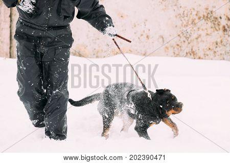 Black Rottweiler Metzgerhund Dog Walking During Training. Winter Season.