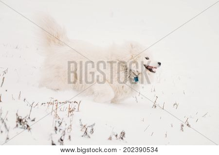 Funny Young White Samoyed Dog Bjelkier, Smiley, Sammy Playing Fast Running Outdoor In Snow, Winter Season. Playful Pet Outdoors.