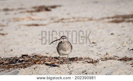 Bird, whimbrel, shore bird on the beach in Laguna Beach, California