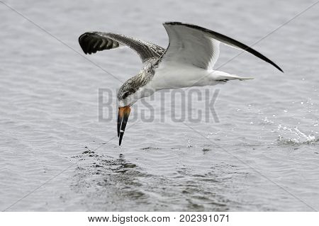 Immature Black Skimmer snagging a small fish
