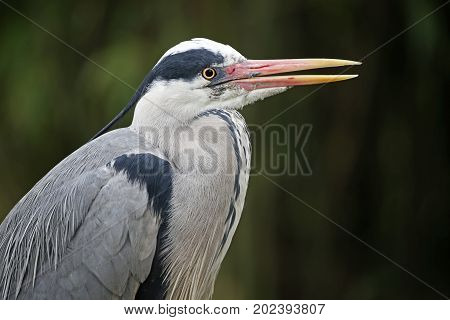 Close up portrait of a Blue Heron with open beak