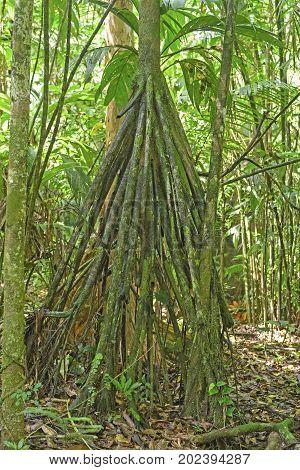 Walk Palm Stilt Root Details in La Selva Biological Station in Costa Rica
