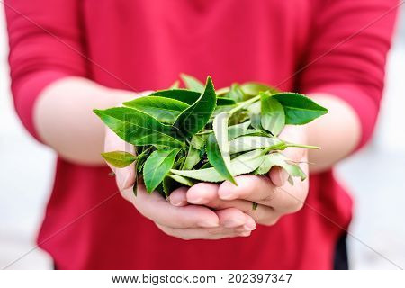 Asia culture concept image - A girl hold fresh organic tea bud & leaves in hand in plantation the famous Oolong tea area in Alishan mountain Taiwan