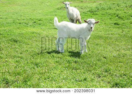 Cute goats on green meadow