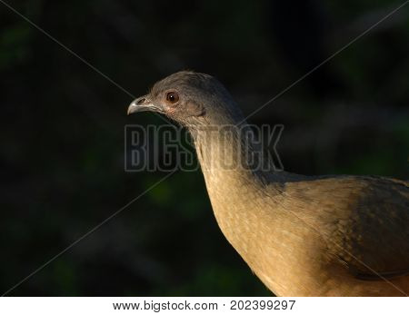 This chachalaca bird was photographed at the northernmost of it's range in extreme south Texas.