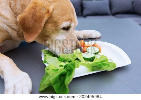 picture of a labrador retriever who eats vegetables from a plate