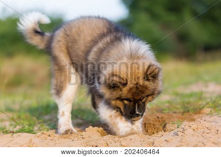 Cute Elo Puppy Digs In A Sand Pit